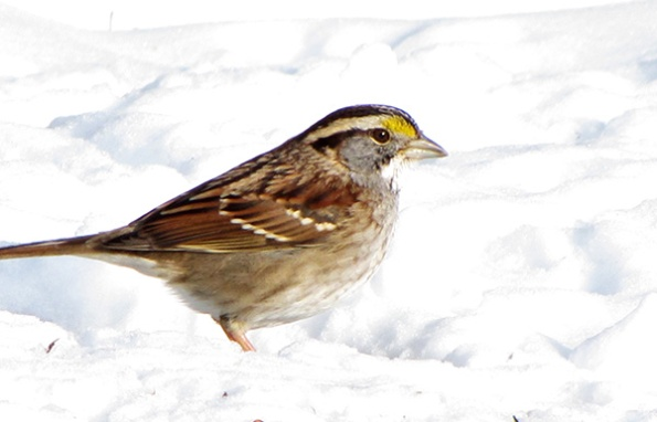 Sparrow Jan 23