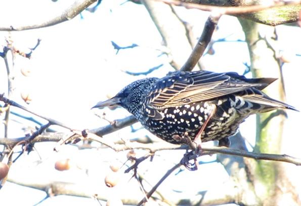 Starling Jan 4