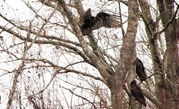 Vultures Jan 10