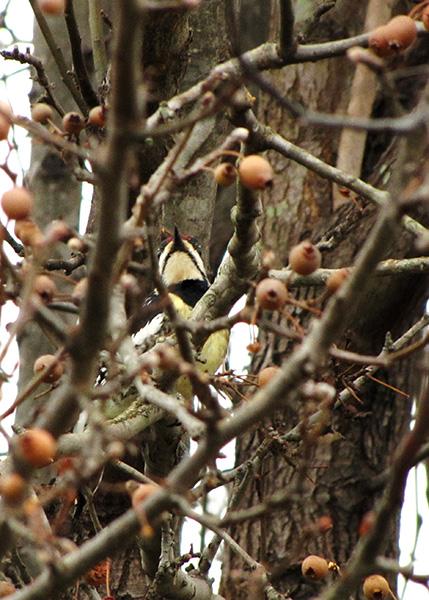 Woodpecker Jan 2