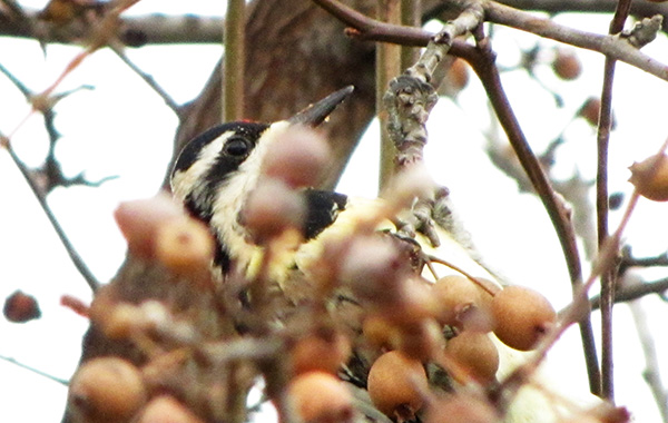 Woodpecker Jan 2