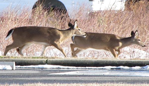 Deer Jan 26