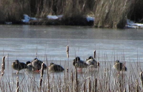 Ducks Jan 26