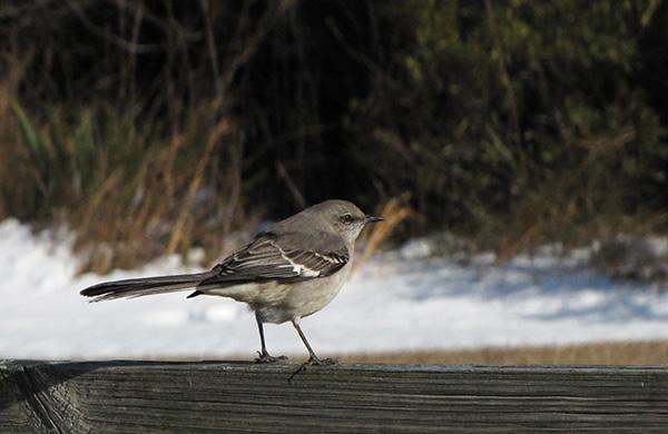 Mockingbird Jan 26