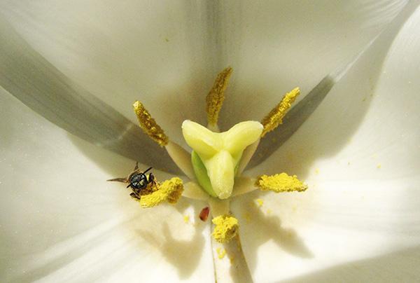 Bee in Tulip April 22