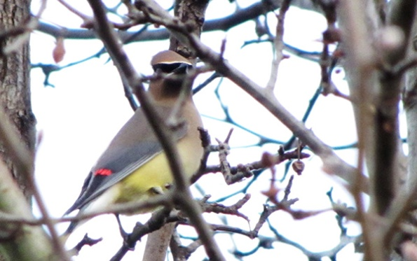 Cedar Waxwing Jan 15