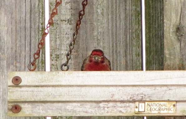 House Finch Jan 29