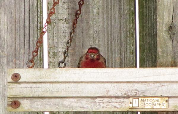 House Finch Jan 29