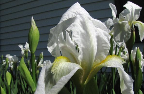 Irises April 5