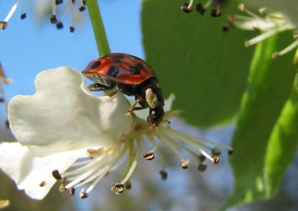 Ladybird April 9