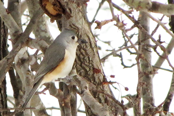 Tufted Titmouse Jan 29