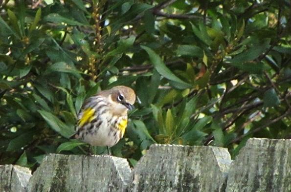 Warbler Jan 15
