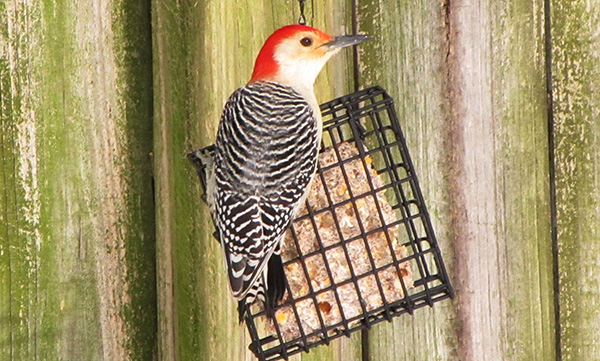 Woodpecker Jan 29