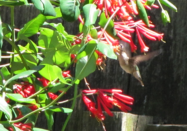 Hummingbird May 4