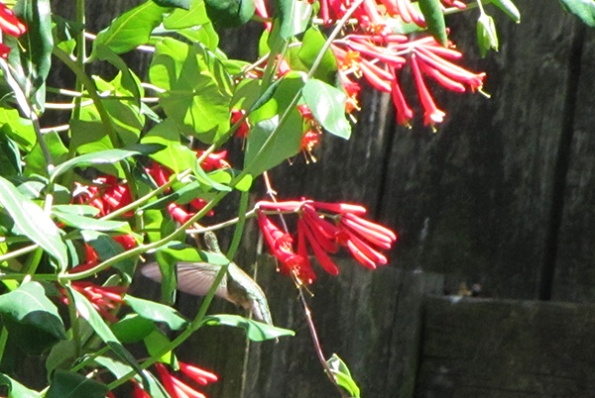 Hummingbird May 4