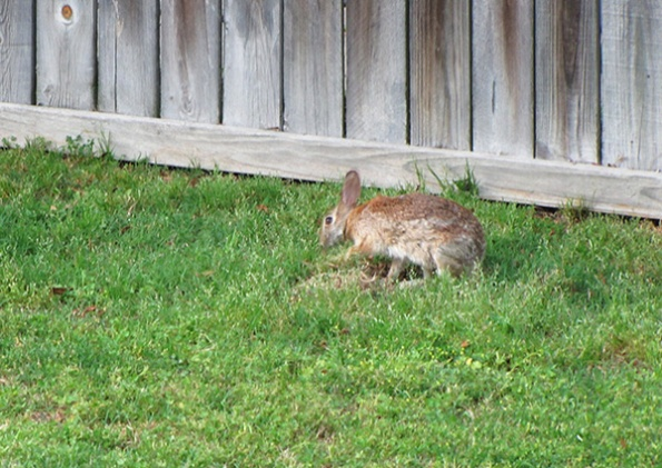 Rabbit Nest May 10