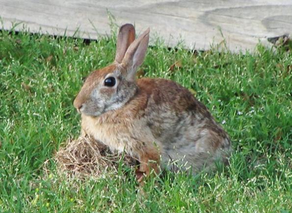 Rabbit Nest May 13