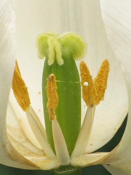 Tulip May 2
