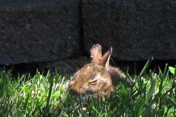 Rabbit June 3