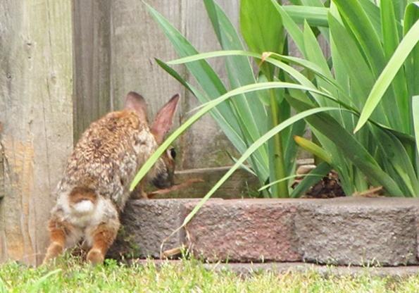 Rabbit May 22