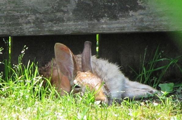 Rabbit May 28