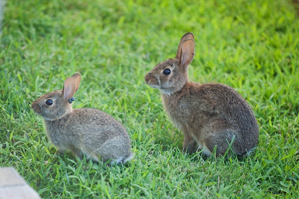Rabbits July 5