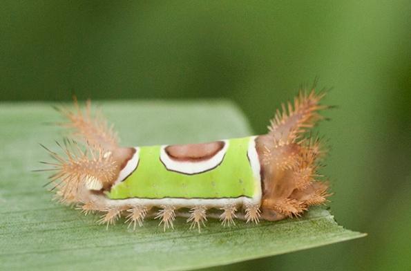 Saddleback Caterpillar July 31