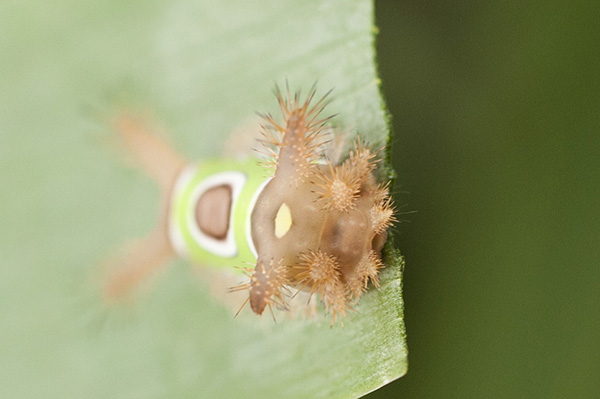 Saddleback Caterpillar July 31