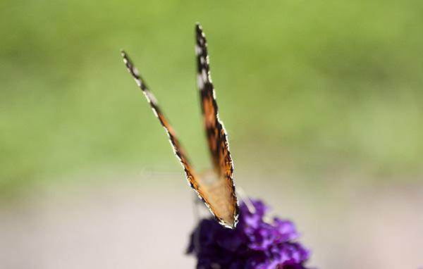 Butterfly July 25