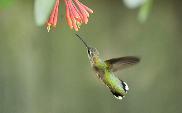 Hummingbird July 23