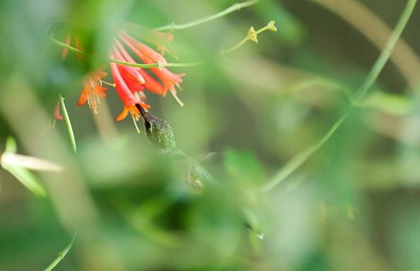 Hummingbird July 23
