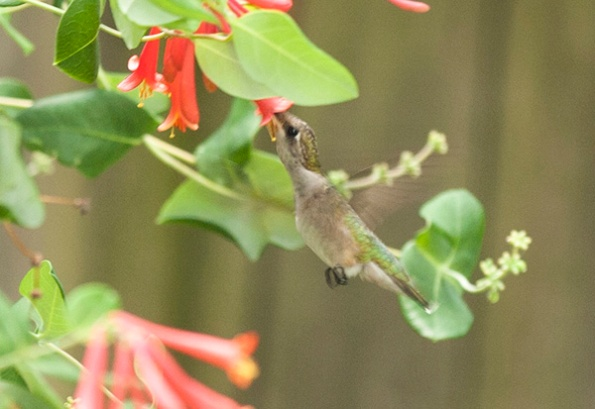 Hummingbird July 27