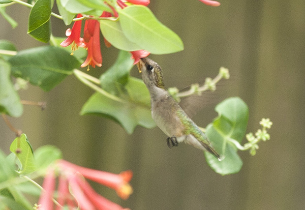 Hummingbird July 27