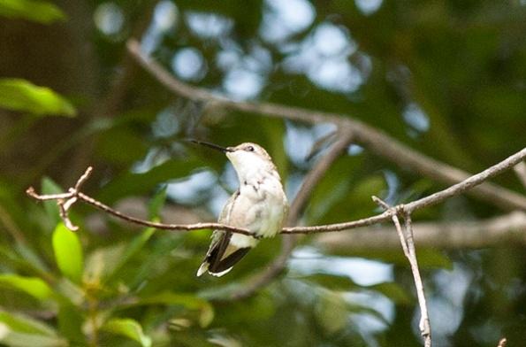 Hummingbird July 29