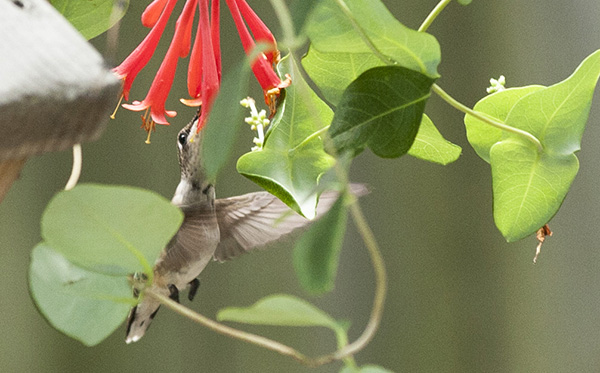 Hummingbird July 29