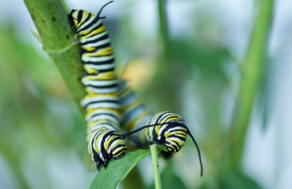 Monarch Caterpillar Sept 22