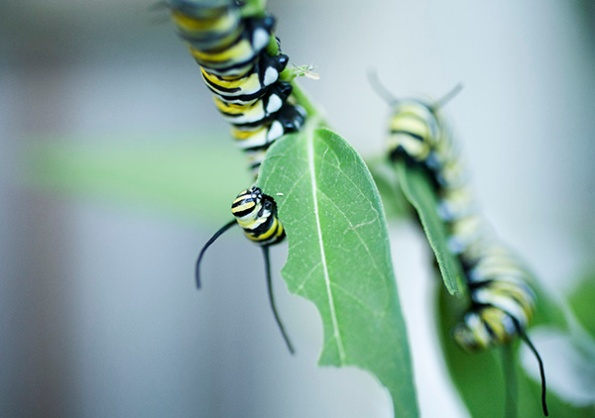 Monarch Caterpillar Sept 22