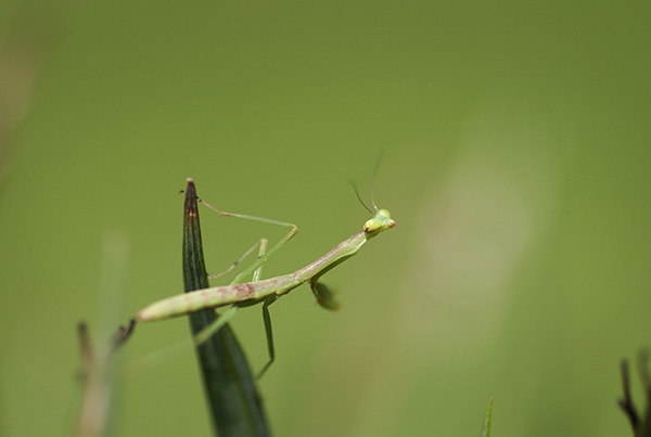 Praying Mantis July 5