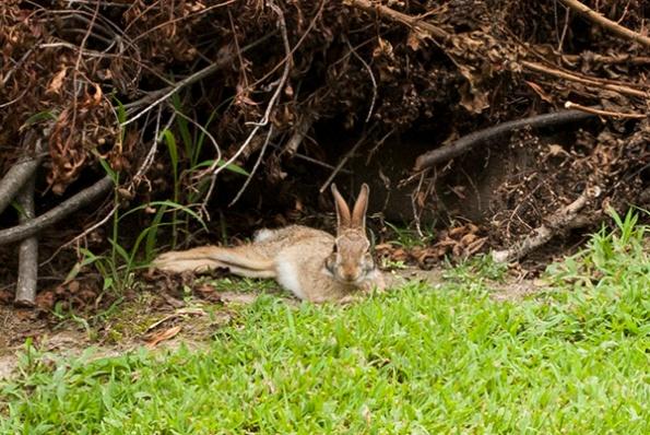 Rabbit Aug 12