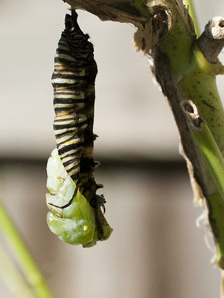 Monarch 5 Chrysalis Sept 30