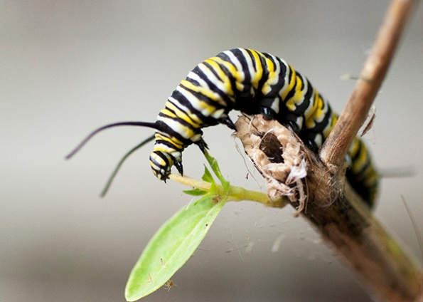 Monarch Caterpillar Sept 23