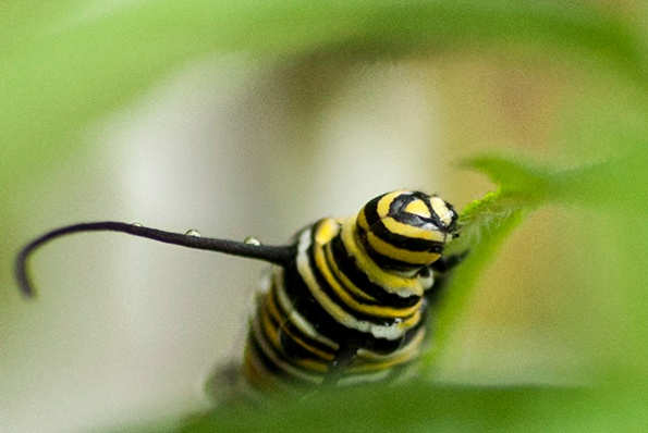 Monarch Caterpillar Sept 24