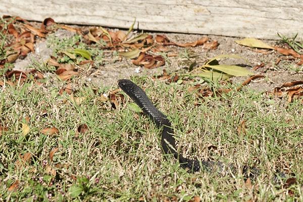 Snake Oct 14