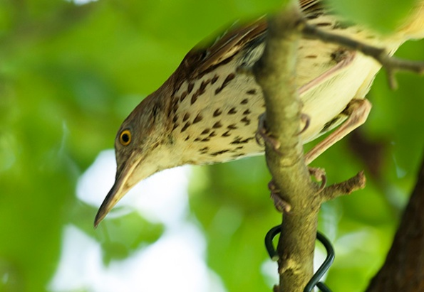Brown Thrasher July 26