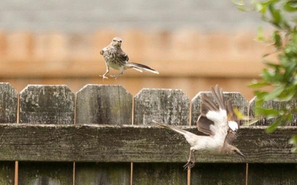 Mockingbird July 20