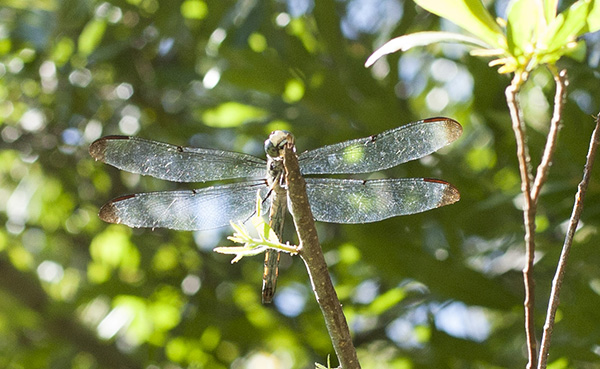 Dragonfly July 25