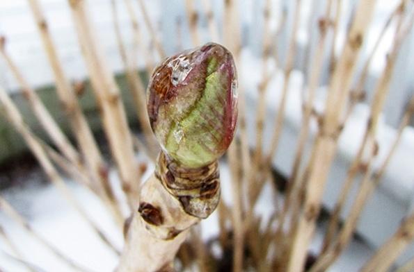 Hydrangea Feb 17