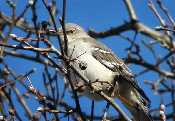 Mockingbird Feb 3