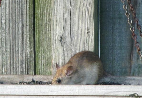 Rat May 17