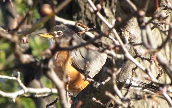 Robin Feb 3